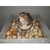 Яйца(20шт) , мясо перепелов ОПТ и РОЗНИЦА